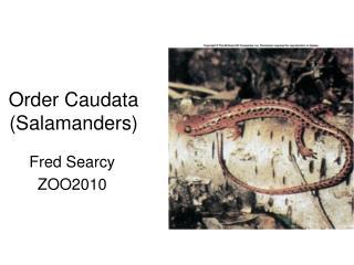 Order Caudata (Salamanders)