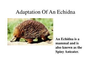Adaptation Of An Echidna