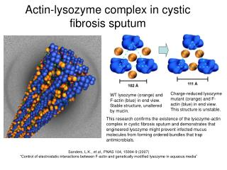 Actin-lysozyme complex in cystic fibrosis sputum