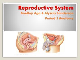 Reproductive System  Bradley Aga & Alyscia Sanderson  Period  5  Anatomy
