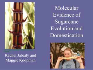 Molecular Evidence of Sugarcane Evolution and Domestication