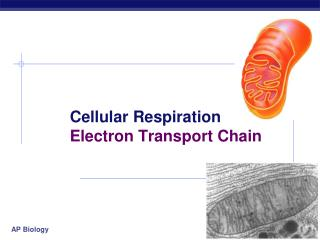 Cellular Respiration 	Electron Transport Chain