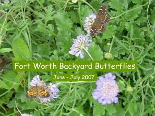 Fort Worth Backyard Butterflies