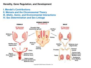 Heredity, Gene Regulation, and Development  I. Mendel's Contributions