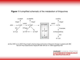 Figure 1  A simplified schematic of the metabolism of thiopurines