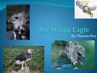 The Harpy Eagle