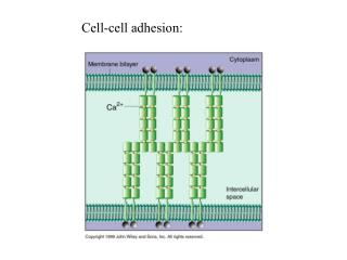 Cell-cell adhesion: