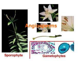 Angiosperms