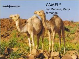 CAMELS By : Mariana,  M aria fernanda .