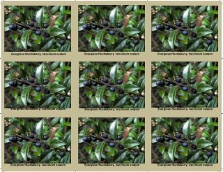 Evergreen Huckleberry,  Vaccinium ovatum