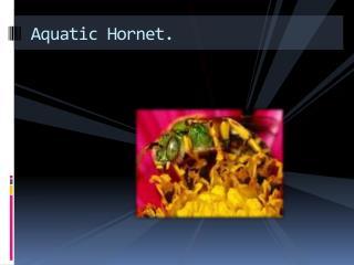 Aquatic Hornet.