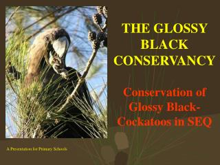 THE GLOSSY BLACK CONSERVANCY Conservation of Glossy Black-Cockatoos in SEQ