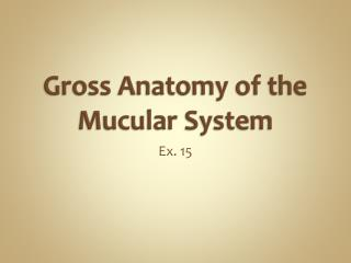 Gross Anatomy of the  Mucular  System
