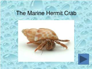 The Marine Hermit Crab