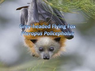 Grey-headed Flying Fox Pteropus Policephalus