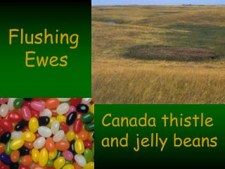 Flushing  Ewes