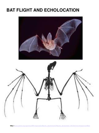 BAT FLIGHT AND ECHOLOCATION