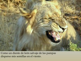 Como un diente de león  salvaje  de las pampas disperso mis  semillas en  el viento .