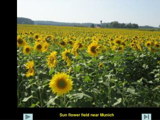 Sun flower field near Munich