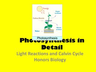 Photosynthesis  i n Detail