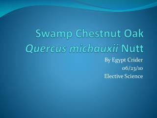Swamp Chestnut Oak Quercus michauxii Nutt