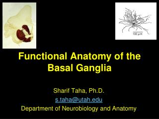 Functional Anatomy of the Basal Ganglia