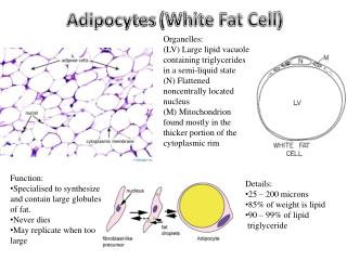 Adipocytes  (White Fat Cell )