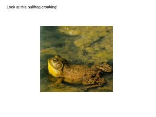 Look at this bullfrog croaking!