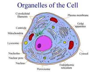 Three Sections of the Cell