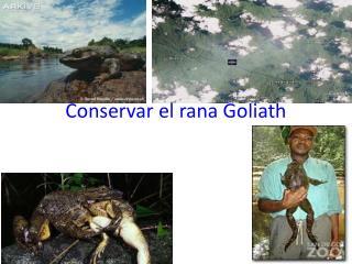 Conservar el rana Goliath
