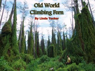 Old World Climbing Fern