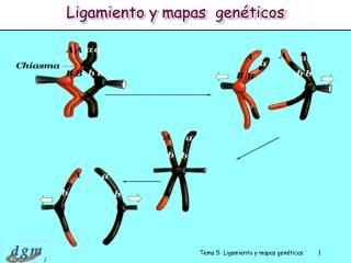 Tema 5: Ligamiento y mapas gen ticos