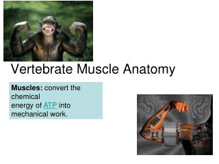 Vertebrate Muscle Anatomy