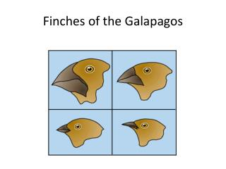 Finches of the Galapagos