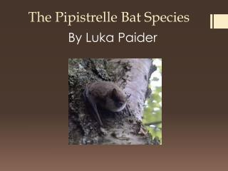 The  Pipistrelle  Bat Species