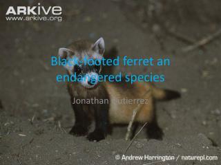 Black-footed ferret an endangered species