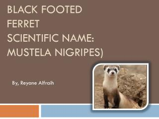 Black Footed Ferret Scientific name : Mustela Nigripes )