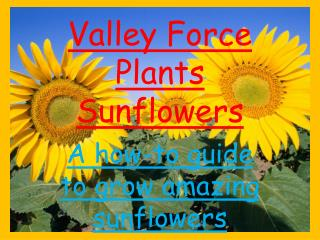 Valley Force Plants Sunflowers