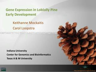 Gene Expression in Loblolly Pine  Early  Development