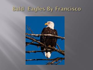 B ald  Eagles By Francisco