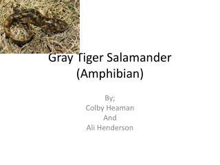 Gray Tiger Salamander (Amphibian)