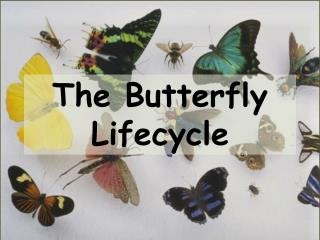 The Butterfly Lifecycle