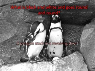 What is black and white and goes round and round?
