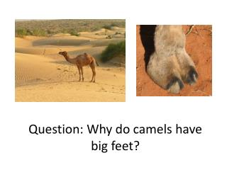 Question: Why do camels have big feet?