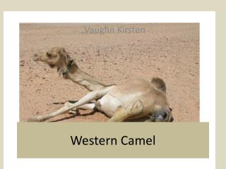 Western Camel