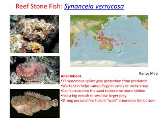 Reef Stone  Fish:  Synanceia verrucosa