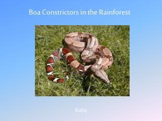 Boa Constrictors in the Rainforest