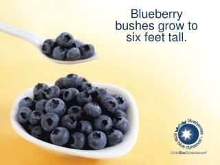 Blueberry bushes grow to six  feet tall .