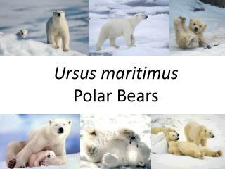 Ursus maritimus Polar Bears