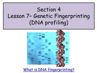 Section 4 Lesson  7 – Genetic Fingerprinting  (DNA profiling)